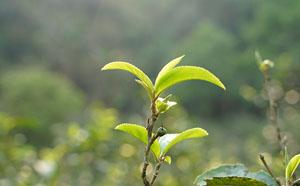 2020年曼松古树茶价格是多少钱一斤