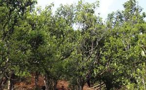 2020年春茶梅子箐普洱古树茶价格是多少钱一斤