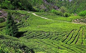 远安黄茶:记忆中的家乡味道