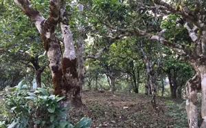 刮风寨——古茶的原乡,茶人的圣地