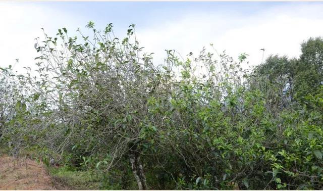 匠心制茶!这种古老的茶树采养模式,只有他们在坚持...