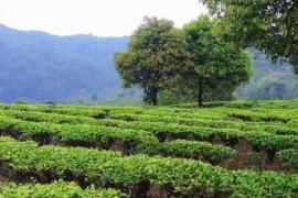 台地茶卖去哪儿了?台地茶和古树茶的区别